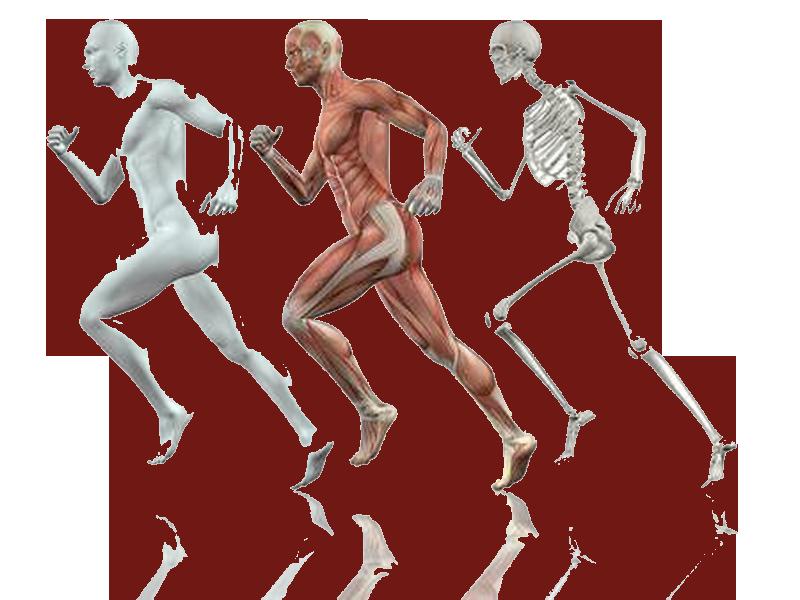 آناتومی اندام ها