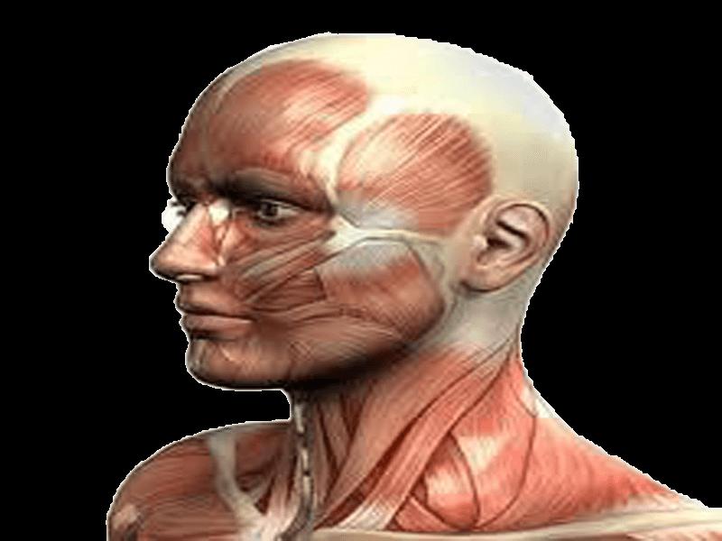 عضلات1