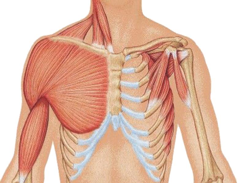 عضلات توراکس